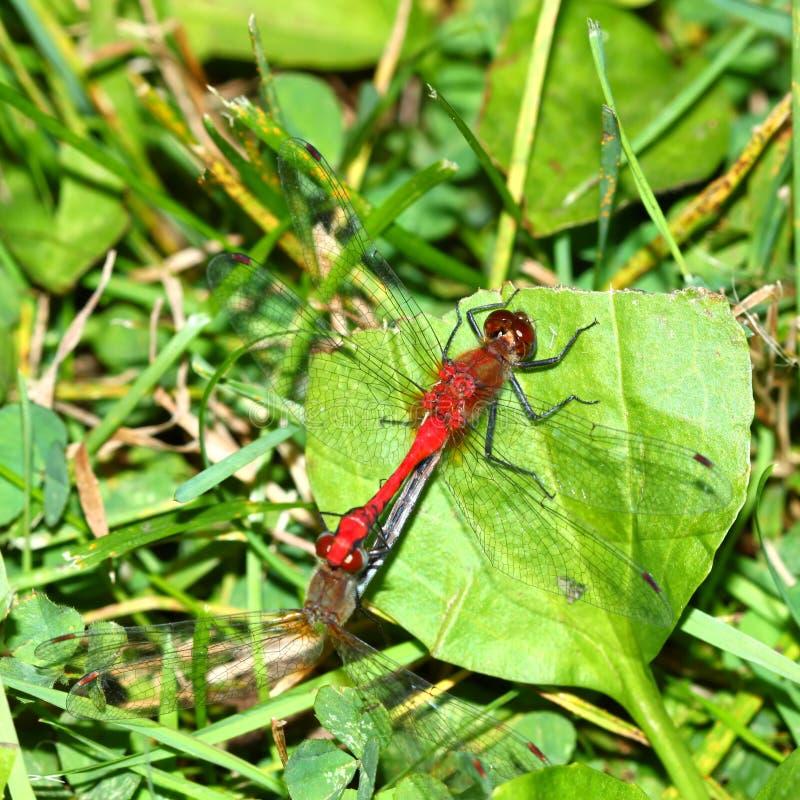 Dragonfly Stawiał czoło Meadowhawk fotografia stock