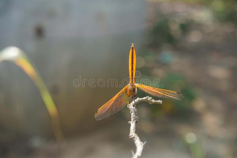 Dragonfly stay on the stick. royalty free stock image
