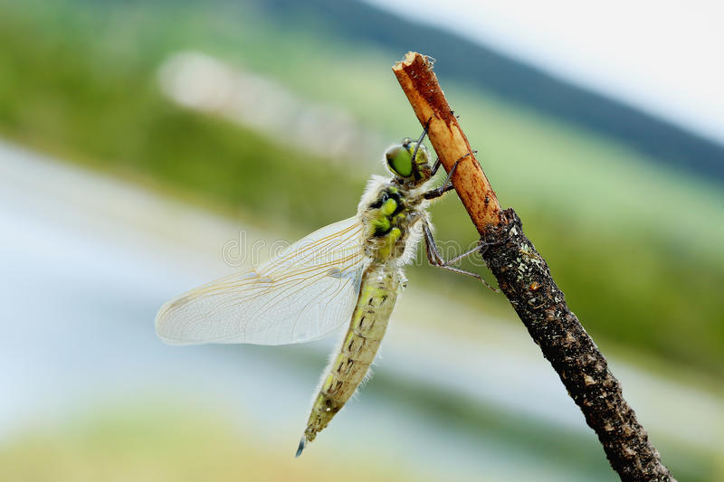 Dragonfly on a stick stock photography