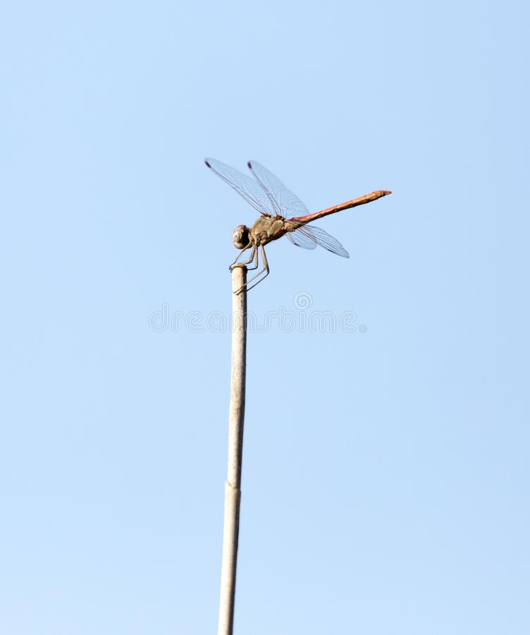 Dragonfly on a stick outdoors stock photos