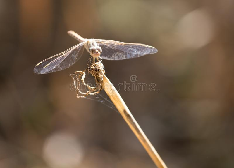 Dragonfly on a stick outdoors royalty free stock photos