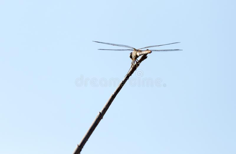 Dragonfly on a stick outdoors stock photo