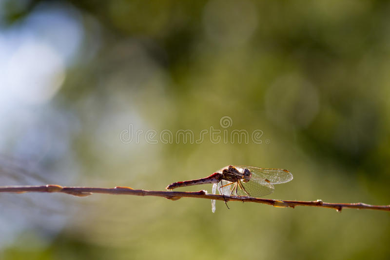 Dragonfly on the stick stock photography