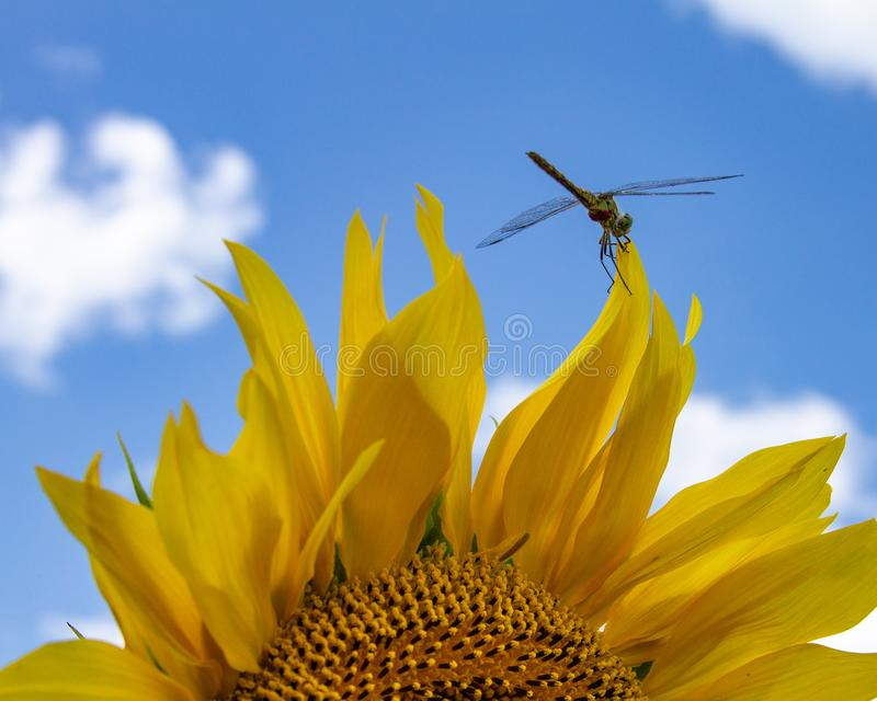 Dragonfly on sunflower stock image
