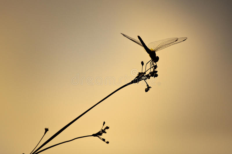 Dragonfly sunset stock images