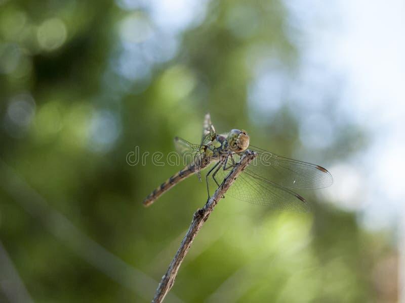Dragonfly (Sympetrum cancellatum) 6 obrazy royalty free