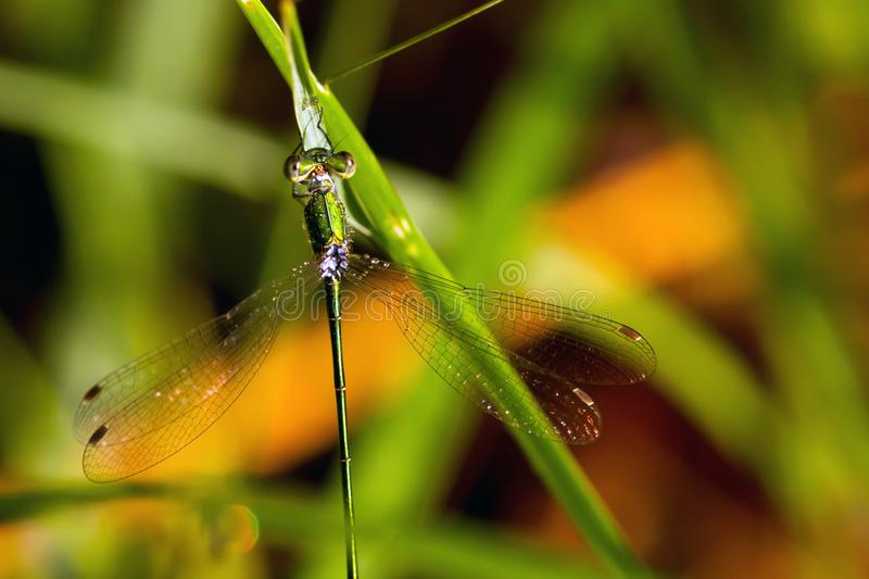 Dragonfly to the grass stalk. stock photography