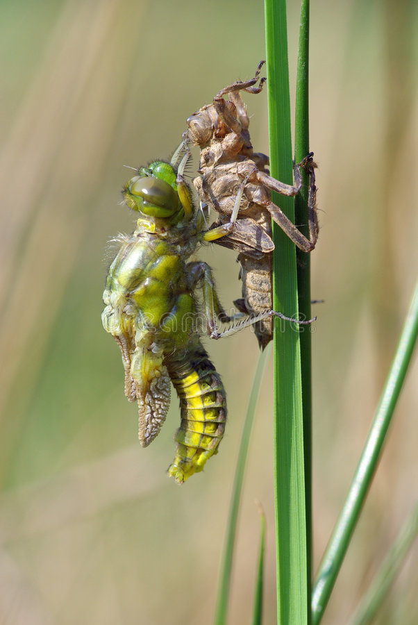 Download Dragonfly Transformation #2 Stock Image - Image of dragonfly, insect: 2330887