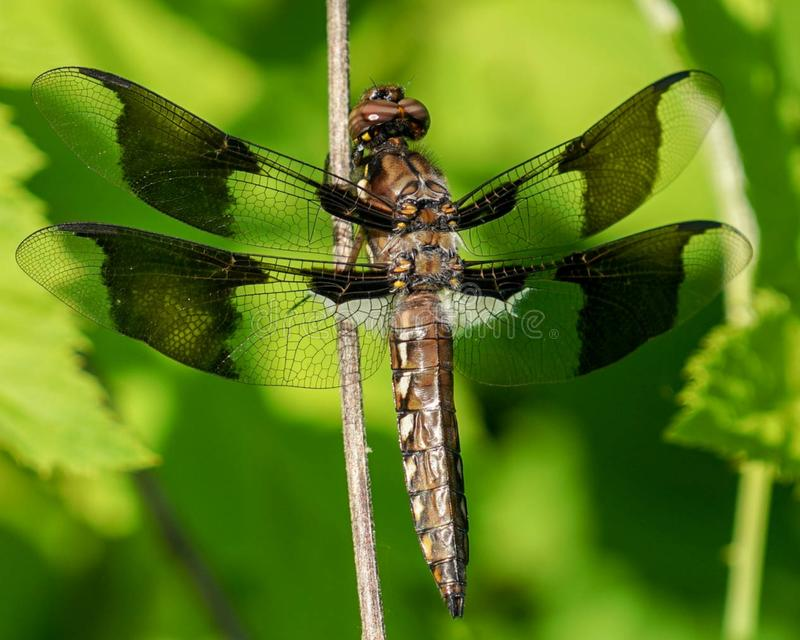 Dragonfly, twelve-spotted skimmer, closeup royalty free stock images