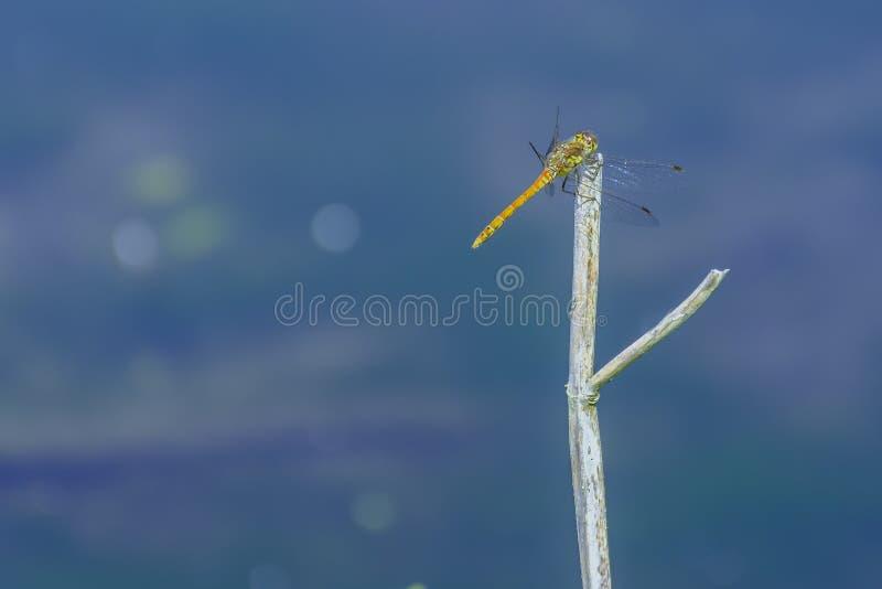 Dragonfly tyczenie na suchym kiju fotografia royalty free