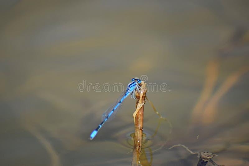 Dragonfly umieszczający zdjęcia royalty free