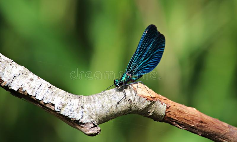 Dragonfly of unusually beautiful color in the thickets of reeds on the lake in the forest stock images