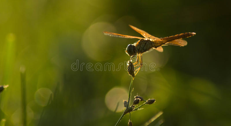 The dragonfly stock images