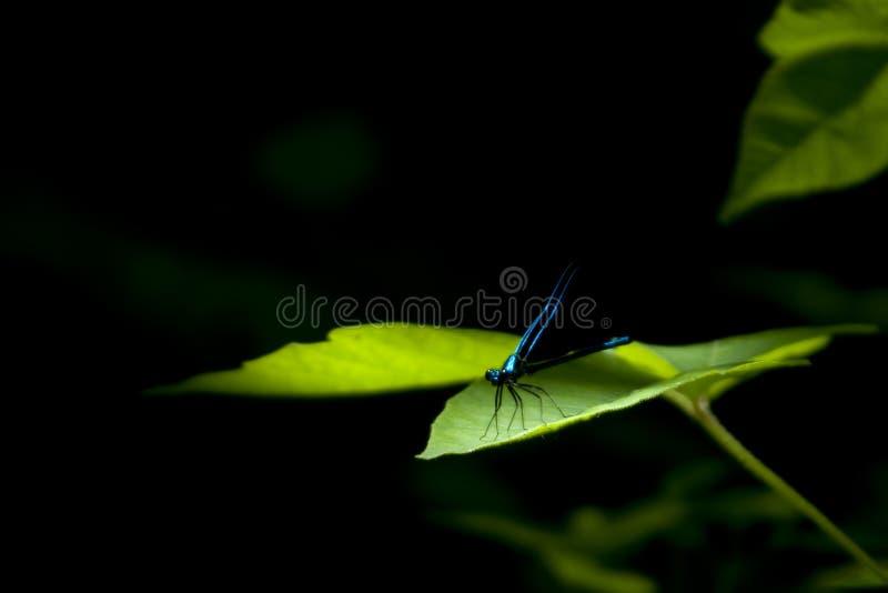 Dragonfly w ciemnym tle obrazy stock