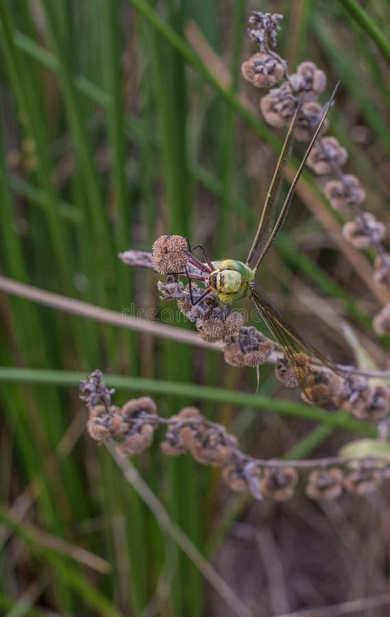 Dragonfly w kłopocie obrazy royalty free