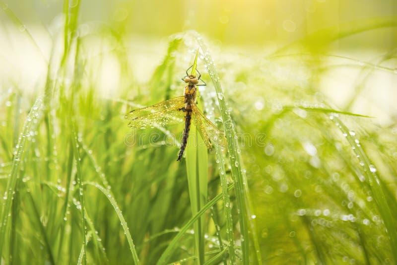 Dragonfly w kropelkach ranek rosa fotografia royalty free