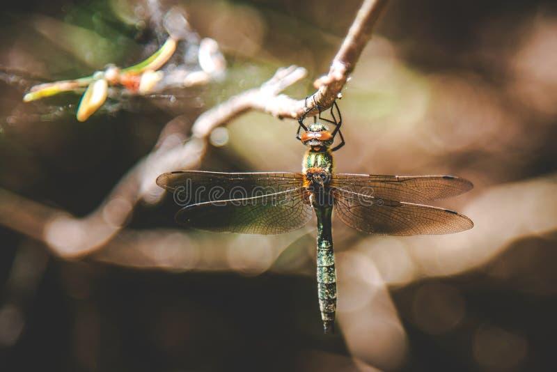 Dragonfly w lesie obrazy stock