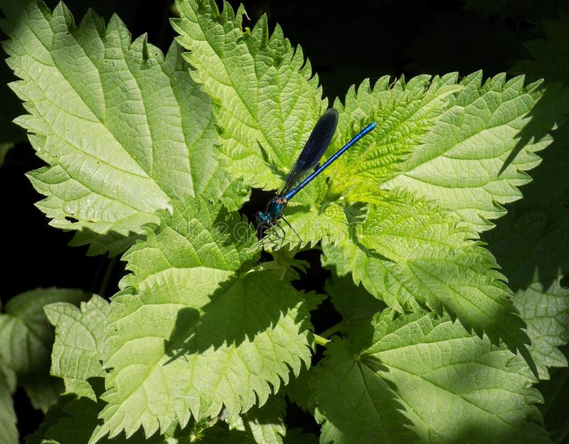 Dragonfly w naturze fotografia stock