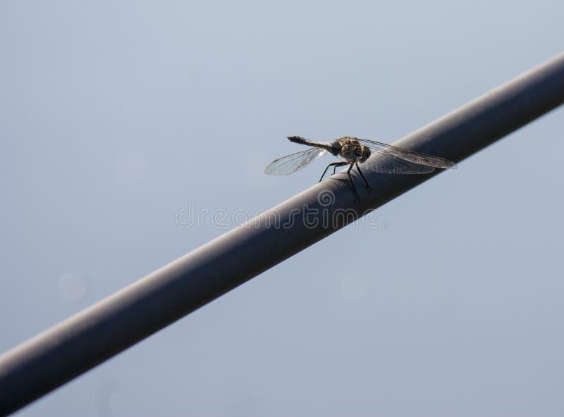 Dragonfly w naturze W górę Dragonfly w swój naturalnym siedlisku Pi?kna rocznik natury scena z dragonfly plenerowym fotografia stock