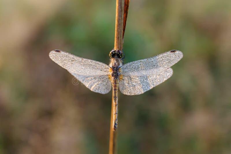 Dragonfly w ranek rosie zdjęcia royalty free