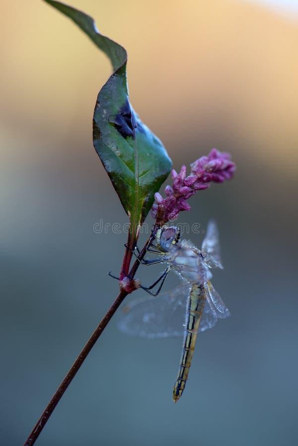 Dragonfly w rosie w wczesnym poranku obraz royalty free