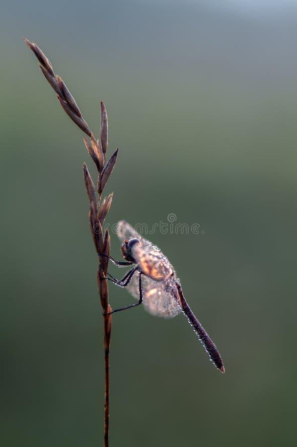 Dragonfly w rosie fotografia royalty free