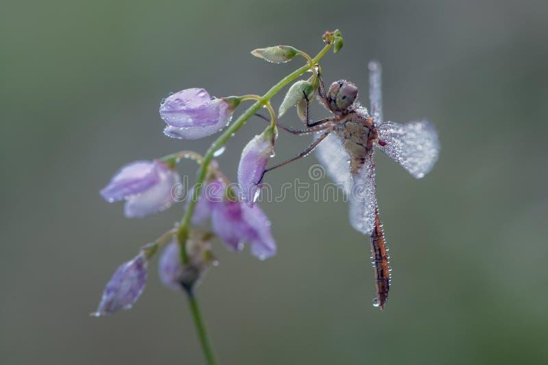 Dragonfly w rosie obrazy stock