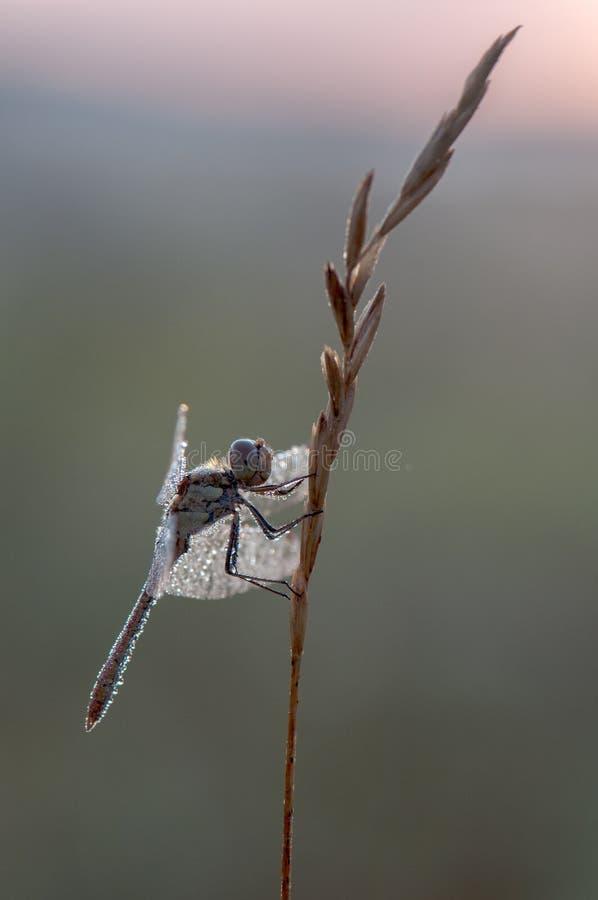 Dragonfly w rosie w wczesnym poranku zdjęcia royalty free