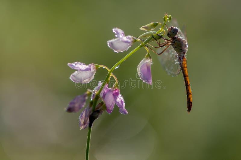 Dragonfly w rosie w wczesnym poranku suszy swój skrzydła zdjęcia royalty free