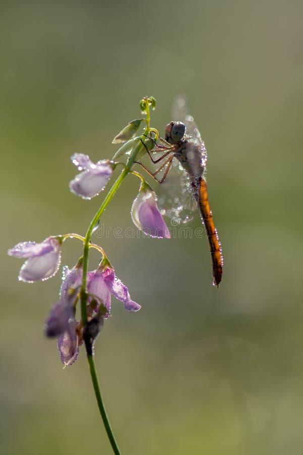 Dragonfly w rosie w wczesnym poranku suszy sw?j skrzyd?a fotografia stock
