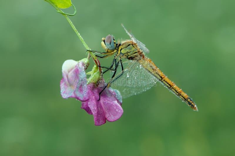 Dragonfly w rosie w wczesnym poranku suszy sw?j skrzyd?a w ??ce zdjęcie royalty free