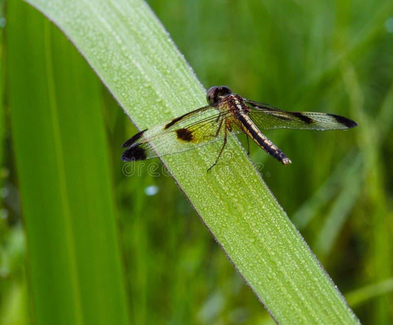 Dragonfly w Tajlandia fotografia stock