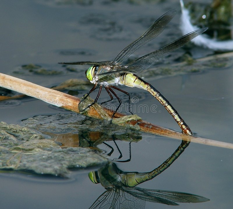 Download Dragonfly on the water 2 stock photo. Image of wings, water - 949462