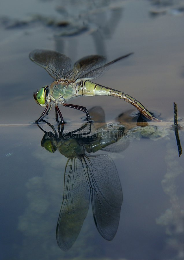 Dragonfly On The Water Royalty Free Stock Photo