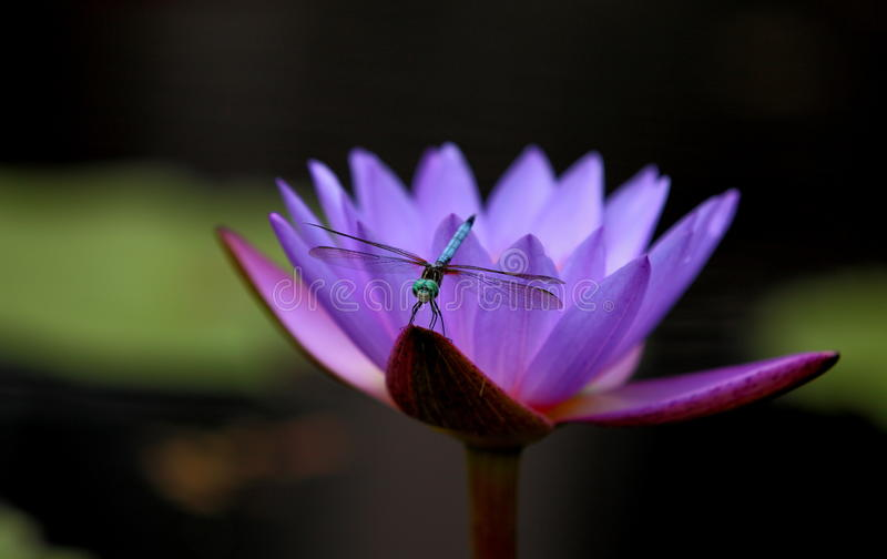 Dragonfly on water lily stock photography