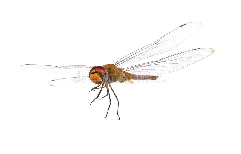 Dragonfly on white background stock photos