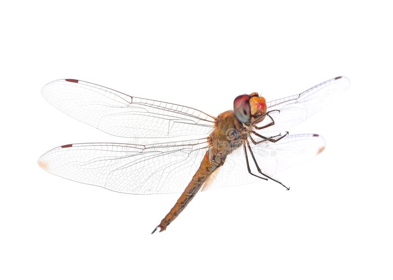 Dragonfly on white background royalty free stock photography