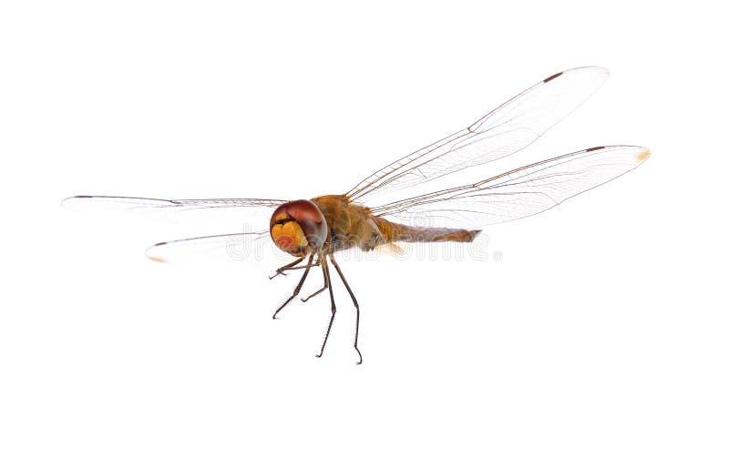 Dragonfly on white background stock image