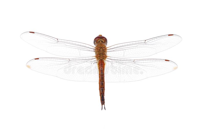 Dragonfly on white background stock photo