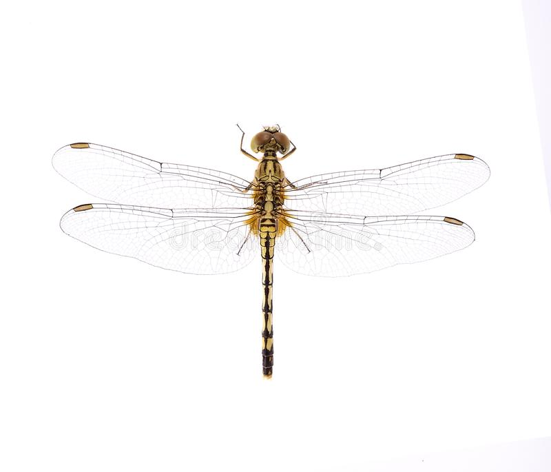 Dragonfly on white background royalty free stock images