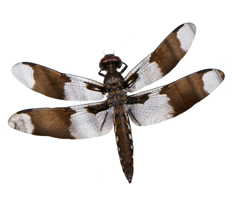 Dragonfly on white background royalty free stock image