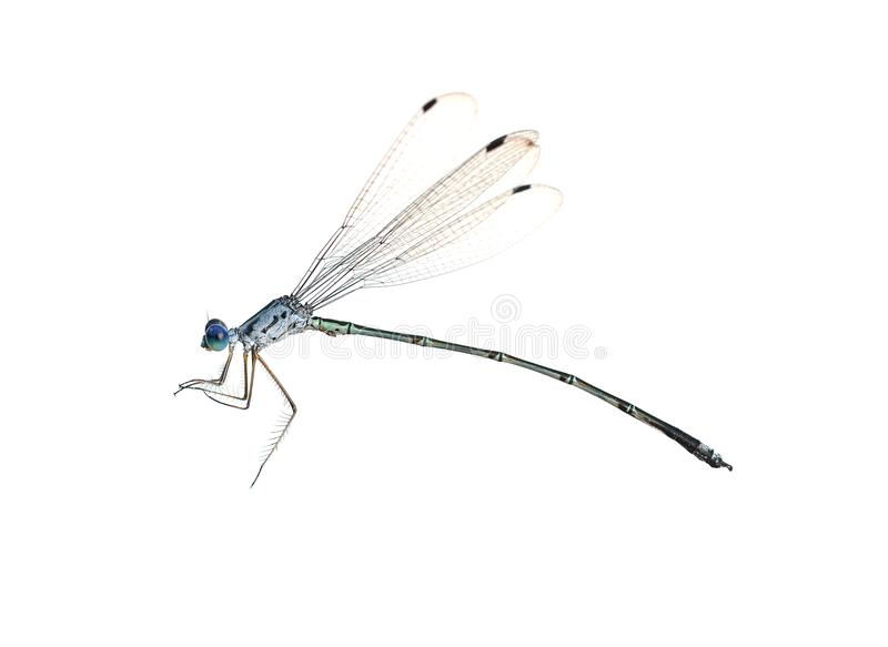 Dragonfly on a white background royalty free stock photo