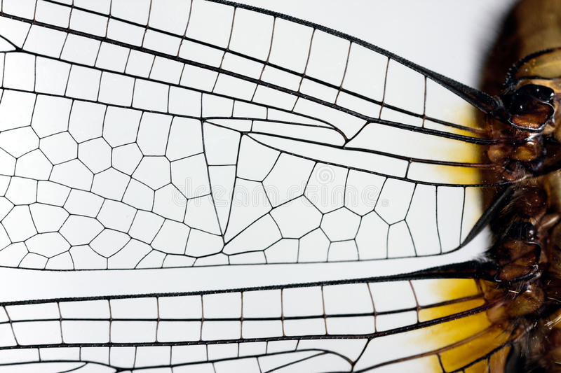 Download Dragonfly wing stock photo. Image of close, magnified - 18603906