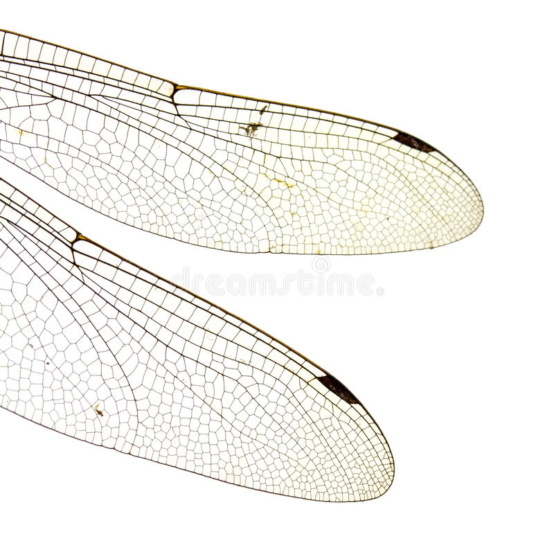 Dragonfly wings isolated on white background stock photography