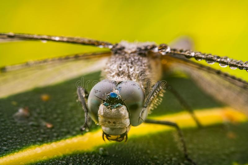 Dragonfly wiping its eyes. It`s the moment a dragonfly wiping off the dew drops on its eyes royalty free stock photo