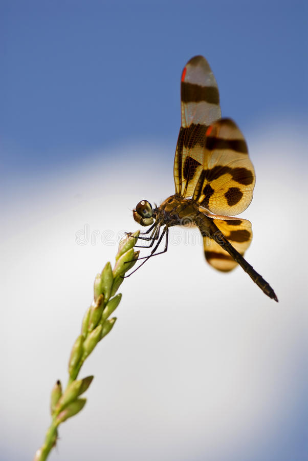 Free Dragonfly With Red Wingtips Stock Images - 15527544