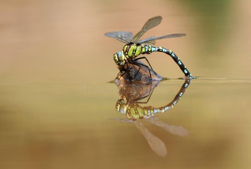 dragonfly woda obrazy royalty free