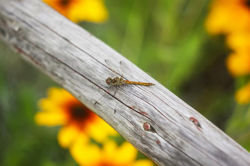 A dragonfly on wooden stick outdoors in summer day stock photography