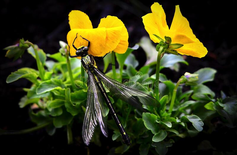 Dragonfly on Yellow Flowers stock images