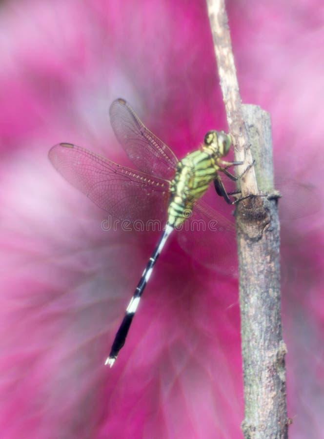 Dragonfly z marzycielskim różowym tłem obrazy royalty free